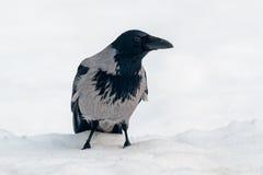 με κουκούλα χιόνι κοράκ&omega Στοκ φωτογραφία με δικαίωμα ελεύθερης χρήσης