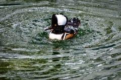Με κουκούλα cucullatus Lophodytes μέργων που κολυμπά σε μια λίμνη στοκ φωτογραφία με δικαίωμα ελεύθερης χρήσης