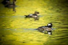 Με κουκούλα κολύμβηση μέργων στοκ εικόνες με δικαίωμα ελεύθερης χρήσης