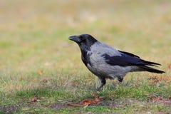 Με κουκούλα κόρακας (Corvus Cornix). στοκ φωτογραφίες με δικαίωμα ελεύθερης χρήσης