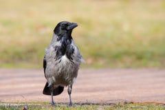 Με κουκούλα κόρακας (Corvus Cornix). στοκ φωτογραφίες