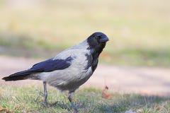 Με κουκούλα κόρακας (Corvus Cornix). στοκ φωτογραφία με δικαίωμα ελεύθερης χρήσης