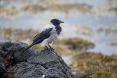 Με κουκούλα κόρακας, corvus cornix Στοκ Εικόνες