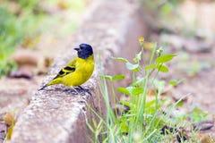 Με κουκούλα siskin ή Santa Cruz siskin, ένα βραζιλιάνο πουλί Στοκ φωτογραφία με δικαίωμα ελεύθερης χρήσης