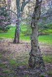 Με κόμπους ξύλο την άνοιξη Στοκ Εικόνα