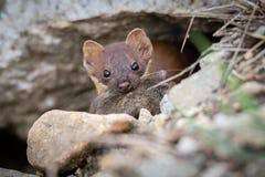 Με μακριά ουρά νυφίτσα με το ποντίκι Στοκ φωτογραφία με δικαίωμα ελεύθερης χρήσης