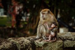 Με μακριά ουρά οικογένεια macaque της μητέρας και του παιδιού στοκ φωτογραφία