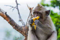 Με μακριά ουρά πίθηκος Macaque Στοκ φωτογραφία με δικαίωμα ελεύθερης χρήσης