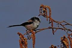 Με μακριά ουρά πουλί Tit στην πέρκα στοκ φωτογραφίες