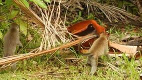Με μακριά ουρά macaque, εθνικό πάρκο Bako, Μπόρνεο, Sarawak, Μαλαισία απόθεμα βίντεο