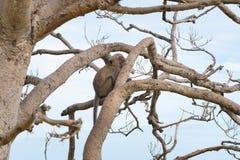 Με μακριά ουρά macaque, καβούρι-που τρώει macaque Στοκ Φωτογραφία