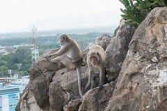 Με μακριά ουρά macaque, καβούρι-που τρώει macaque Στοκ Φωτογραφίες