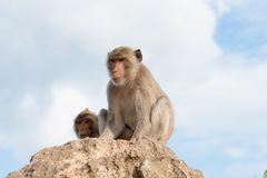 Με μακριά ουρά macaque, καβούρι-που τρώει macaque Στοκ Εικόνες