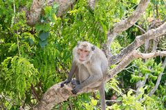 Με μακριά ουρά macaque, καβούρι-που τρώει macaque Στοκ φωτογραφία με δικαίωμα ελεύθερης χρήσης