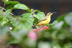 Με μακριά ουρά tailorbird στοκ εικόνες