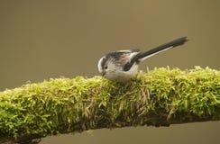 Με μακριά ουρά Tit (caudatus Aegithalos) που σκαρφαλώνει στο κούτσουρο στοκ φωτογραφίες με δικαίωμα ελεύθερης χρήσης