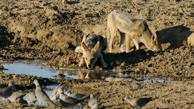 Με μαύρη ράχη πόσιμο νερό jackals με τα περιστέρια απόθεμα βίντεο