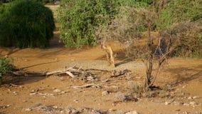 Με μαύρη ράχη τρεξίματα jackals μέσω της αφρικανικής ξηράς σαβάνας μεταξύ των θάμνων φιλμ μικρού μήκους