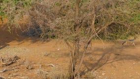 Με μαύρη ράχη τρεξίματα Jackals μέσω της αφρικανικής σαβάνας μεταξύ των θάμνων απόθεμα βίντεο