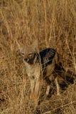 Με μαύρη ράχη Jackal, επιφύλαξη παιχνιδιού Madikwe στοκ φωτογραφία με δικαίωμα ελεύθερης χρήσης