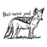 Με μαύρη ράχη jackal - διανυσματικό χέρι σκίτσων απεικόνισης που σύρεται με Στοκ φωτογραφία με δικαίωμα ελεύθερης χρήσης