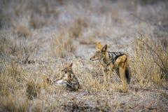 Με μαύρη ράχη jackal στο εθνικό πάρκο Kruger, Νότια Αφρική στοκ εικόνα με δικαίωμα ελεύθερης χρήσης