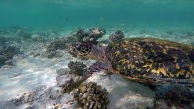Με μια χελώνα στην κοραλλιογενή ύφαλο απόθεμα βίντεο
