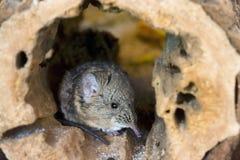 Με μικρά αυτιά ελέφαντας shrew (proboscideus Macroscelides) Στοκ Εικόνες