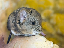 Με μικρά αυτιά ελέφαντας shrew (proboscideus Macroscelides) Στοκ Εικόνα