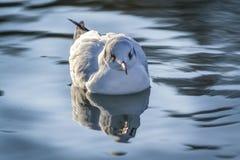 Με μικρό ράμφος γλάρος στη λίμνη - genei Chroicocephalus Στοκ φωτογραφία με δικαίωμα ελεύθερης χρήσης