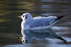 Με μικρό ράμφος γλάρος στη λίμνη - genei Chroicocephalus Στοκ Εικόνες