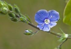 με ξεχάστε φυτό λιβαδιών όχι Στοκ φωτογραφία με δικαίωμα ελεύθερης χρήσης