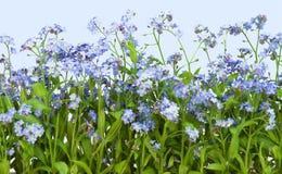 με ξεχάστε φυτό myosotis nots Στοκ φωτογραφία με δικαίωμα ελεύθερης χρήσης