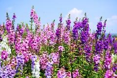 Με ξεχάστε όχι λουλούδι πορφυρό και ρόδινο Στοκ Εικόνα