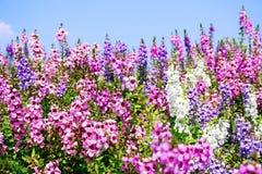 Με ξεχάστε όχι λουλούδι πορφυρό και ρόδινο Στοκ Φωτογραφίες