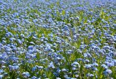 Με ξεχάστε nots λιβάδι λουλουδιών Στοκ Εικόνες