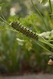 Μελλοντική πεταλούδα Swallowtail Στοκ εικόνες με δικαίωμα ελεύθερης χρήσης