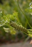 Μελλοντική πεταλούδα Swallowtail Στοκ Φωτογραφία