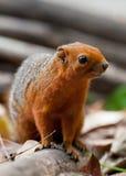με πόδια κόκκινος σκίουρος Στοκ Εικόνες