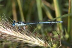 με πόδια λευκό platycnemis pennipes damselfly Στοκ Εικόνες
