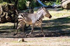 Με ραβδώσεις βουνών Hartmann, ζέβρ hartmannae Equus Ένα διακυβευμένο με ραβδώσεις στοκ εικόνα με δικαίωμα ελεύθερης χρήσης