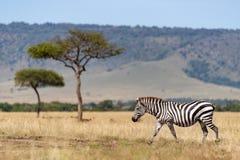 Με ραβδώσεις, δέντρα ακακιών και ο γκρεμός Oloololo, Masai Mara στοκ εικόνες με δικαίωμα ελεύθερης χρήσης