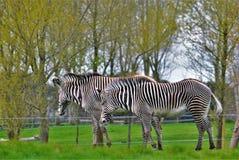 Με ραβδώσεις/ζεύγος των zebras στο σαφάρι Woburn Στοκ Εικόνα