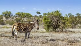 Με ραβδώσεις πεδιάδων στο εθνικό πάρκο Kruger, Νότια Αφρική Στοκ φωτογραφία με δικαίωμα ελεύθερης χρήσης