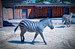 Με ραβδώσεις σε έναν ζωολογικό κήπο που τρώει με το σανό με ένα άλλο με ραβδώσεις στο ζέβες quagga Equus πεδιάδων υποβάθρου στοκ εικόνα