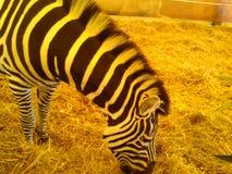 Με ραβδώσεις σε έναν ζωολογικό κήπο Όμορφο ζώο στοκ φωτογραφία με δικαίωμα ελεύθερης χρήσης