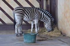 Με ραβδώσεις στη μάντρα στο ζωολογικό κήπο στοκ φωτογραφία με δικαίωμα ελεύθερης χρήσης