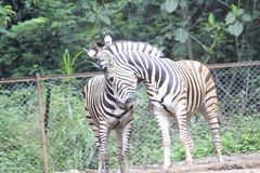 Με ραβδώσεις στο ζωολογικό κήπο Bandung Ινδονησία 4 στοκ εικόνα