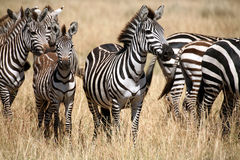 με ραβδώσεις της Κένυας στοκ εικόνες