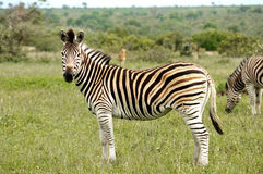 Με ραβδώσεις του πάρκου Kruger Στοκ Εικόνες